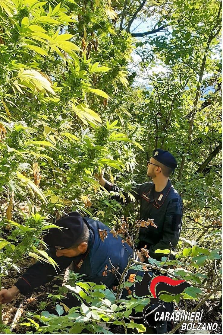 Carabinieri entdecken Cannabis-Plantage in Kaltern